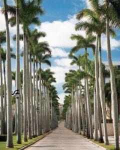 trimmed palm trees